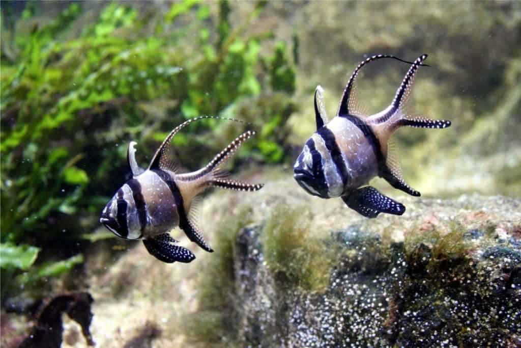 banggai cardinalfish breeding