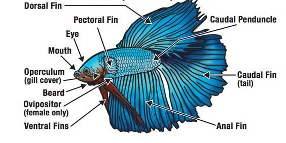 Betta Fish: Species Profile: Care | Diet | Sexing | Breeding 1