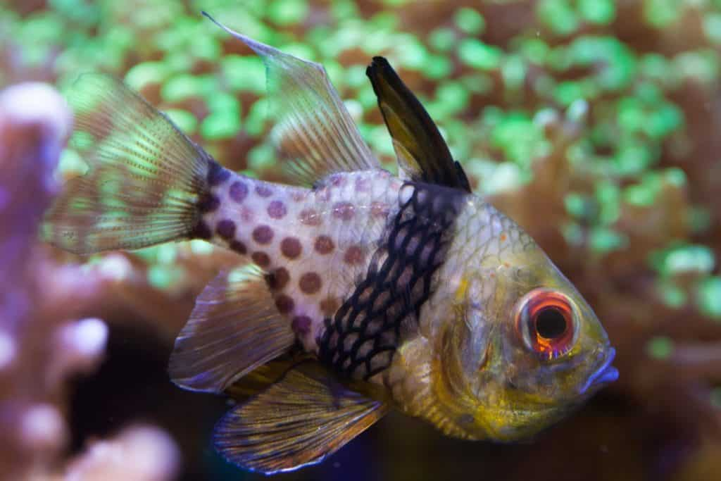 Pajama Cardinalfish: Care, Breeding, Feeding and cost guide 2