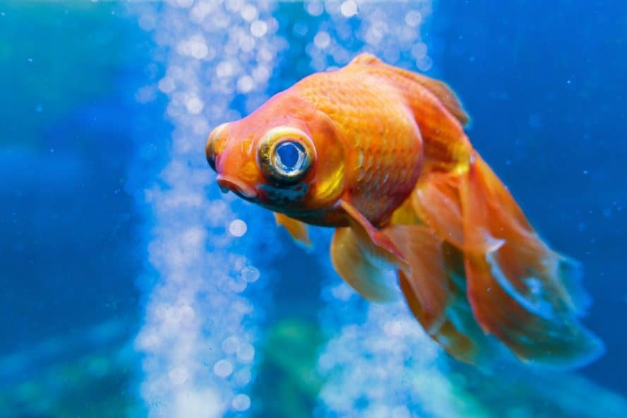 can goldfish live alone
