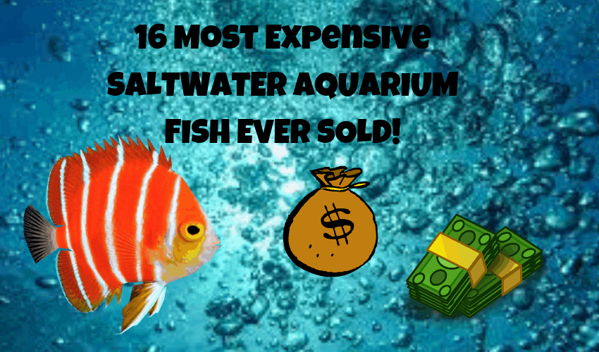16 MOST EXPENSIVE SALTWATER AUARIUM FISH EVER SOLD