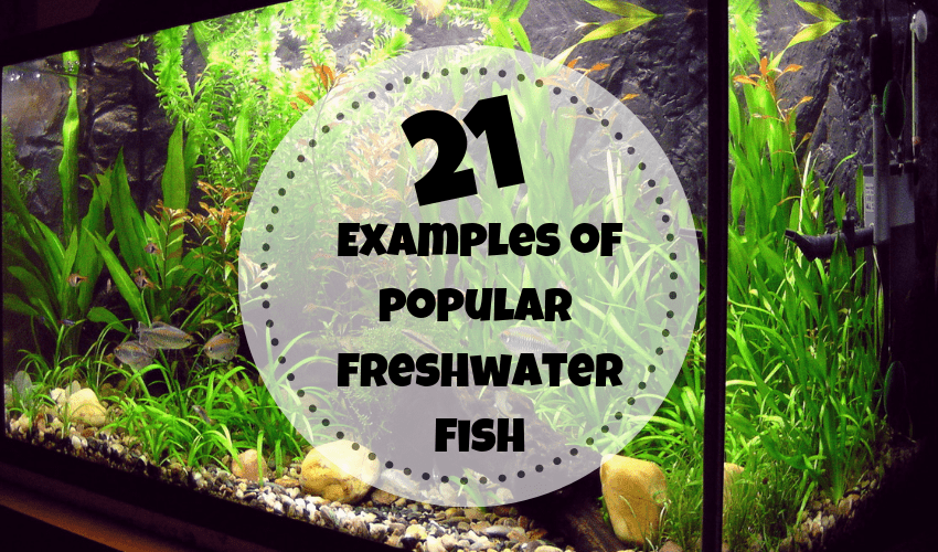 popular freshwater aquarium fish