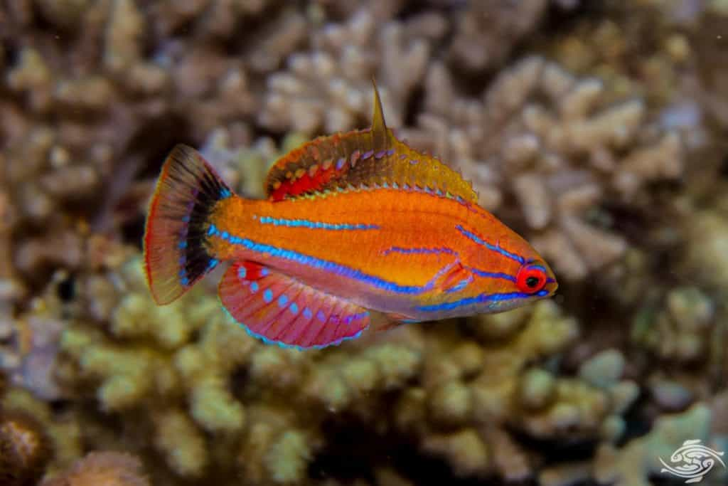 McCosker's Flasher Wrasse: Care | Diet | Size | Breeding Guide 1