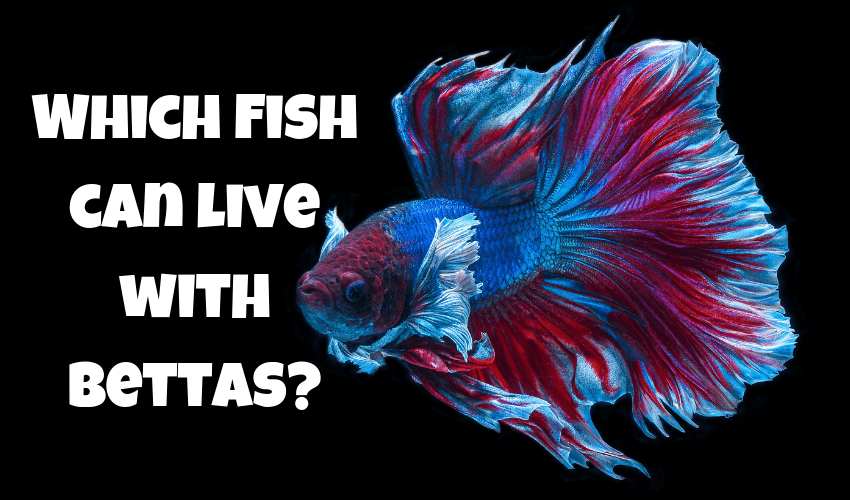 Which fish can live with Bettas ( With 12 Examples and Photos )