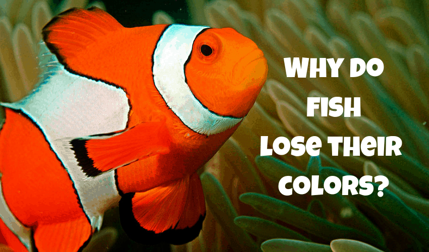 Why do fish lose their colors?