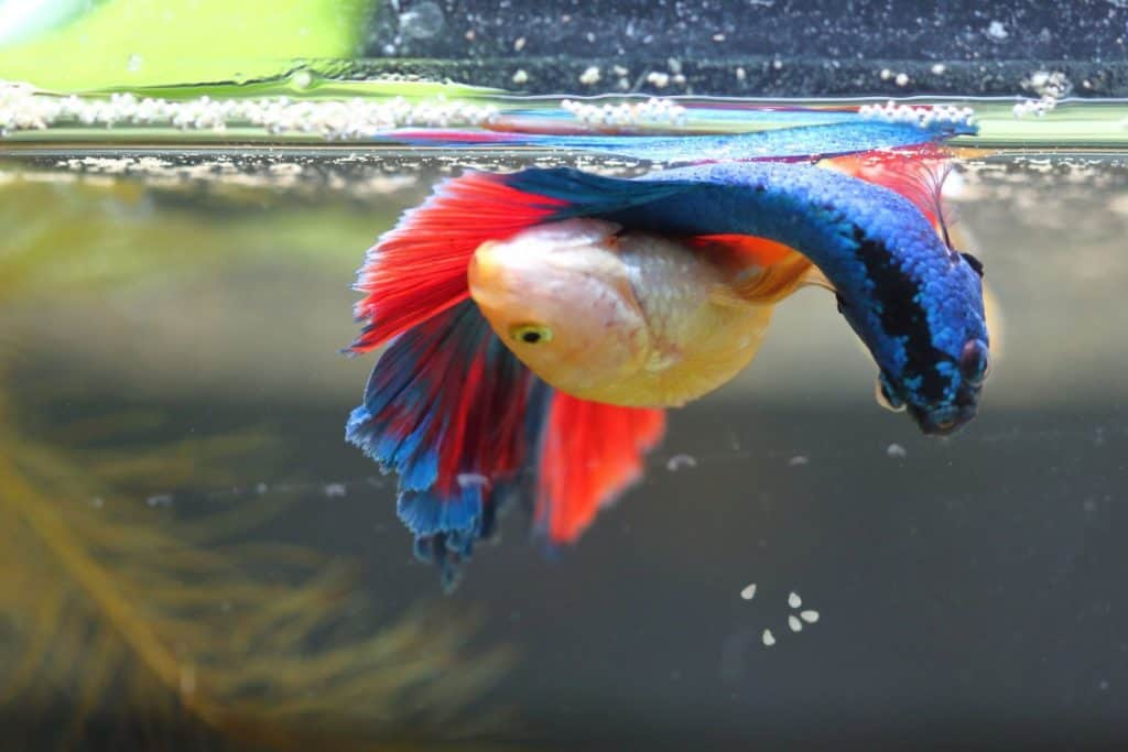 Why is my Betta fish not eating? (Top 5 Possible Reasons) 4