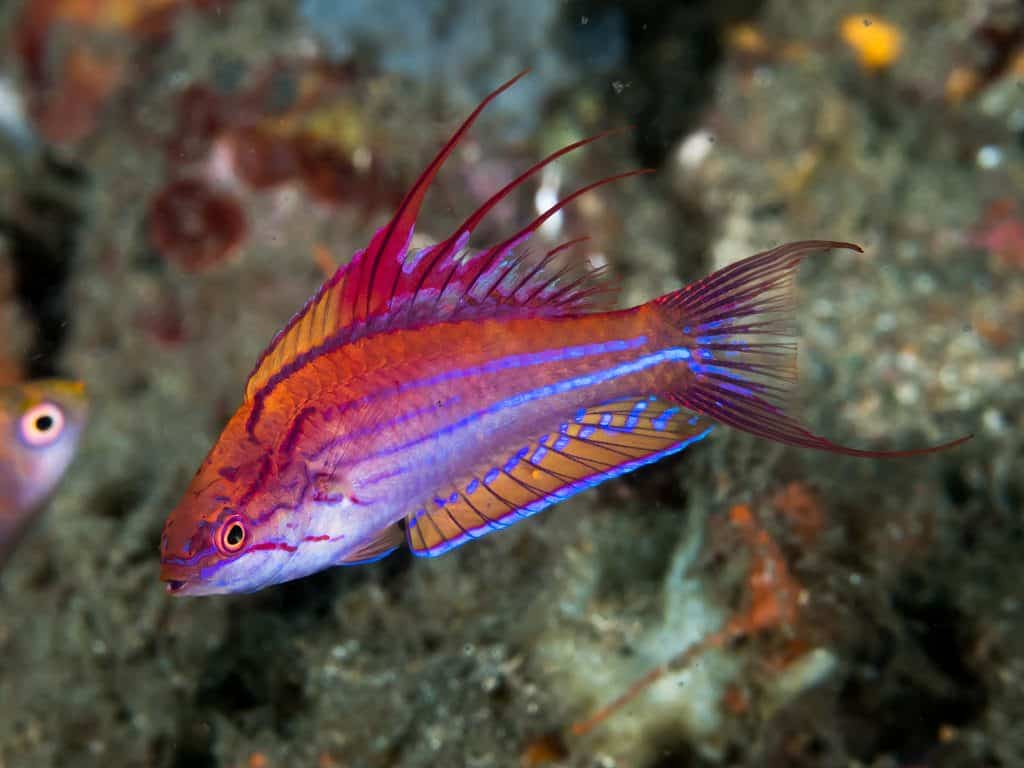 McCosker's Flasher Wrasse: Care | Diet | Size | Breeding Guide 2