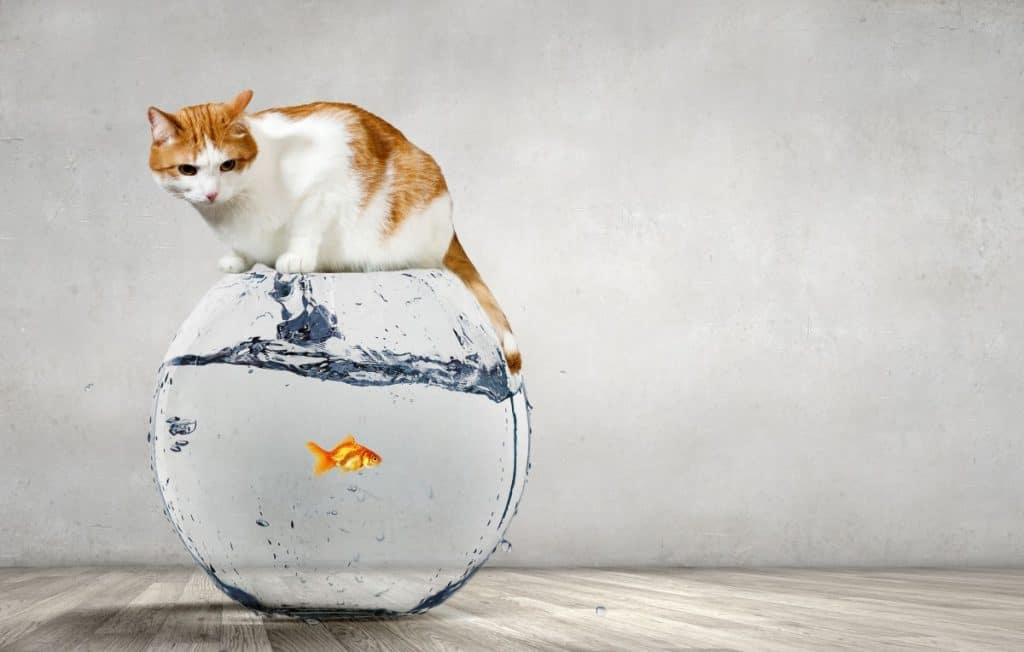 Why Are Cats Attracted To Goldfish? Learn Why! 1