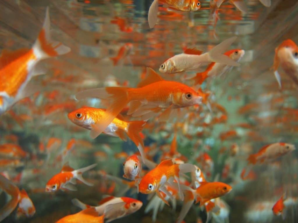 image of goldfish for an article about if goldfish can eat rice