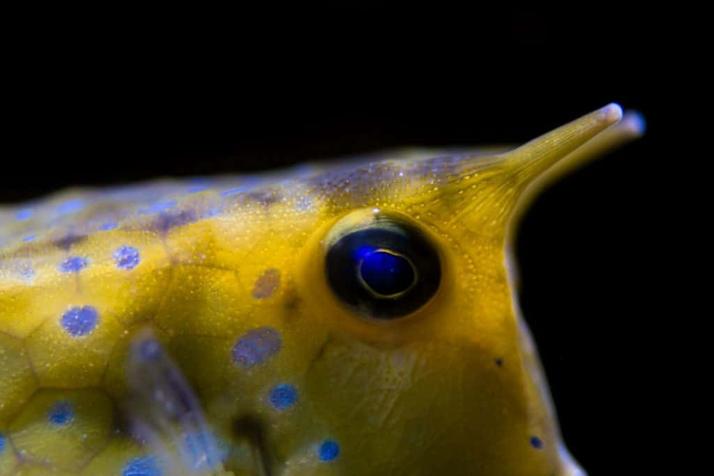 7 Little Known Facts About The Longhorn Cowfish (With Photos) 4