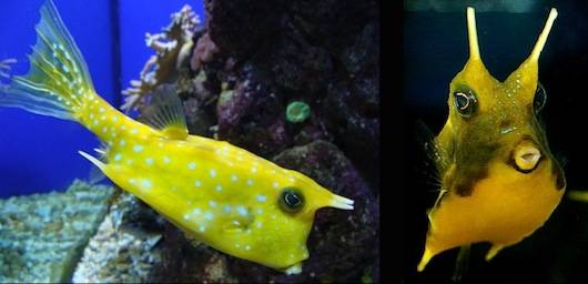 7 Little Known Facts About The Longhorn Cowfish (With Photos) 1