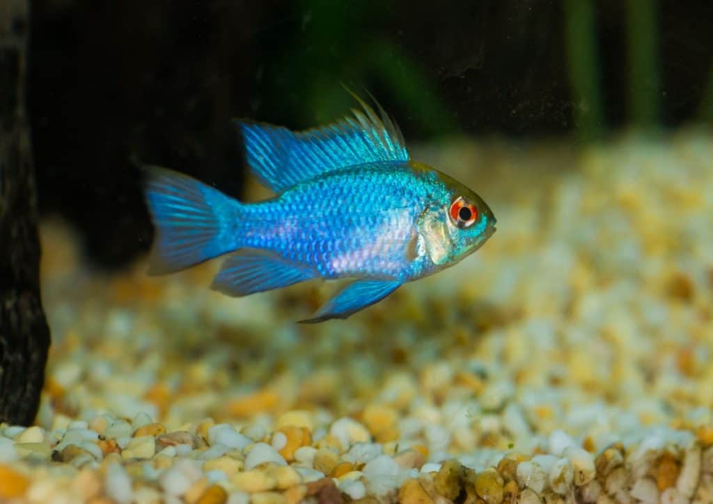 How Big Do Ram Cichlids Get? (Size,Growth Rate) 1