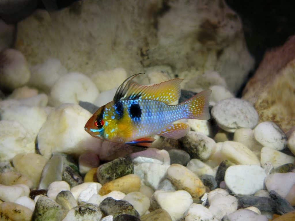 How Big Do Ram Cichlids Get? (Size,Growth Rate) 2