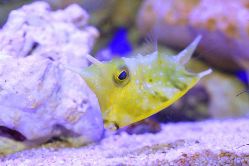 longhorn cowfish lifespan
