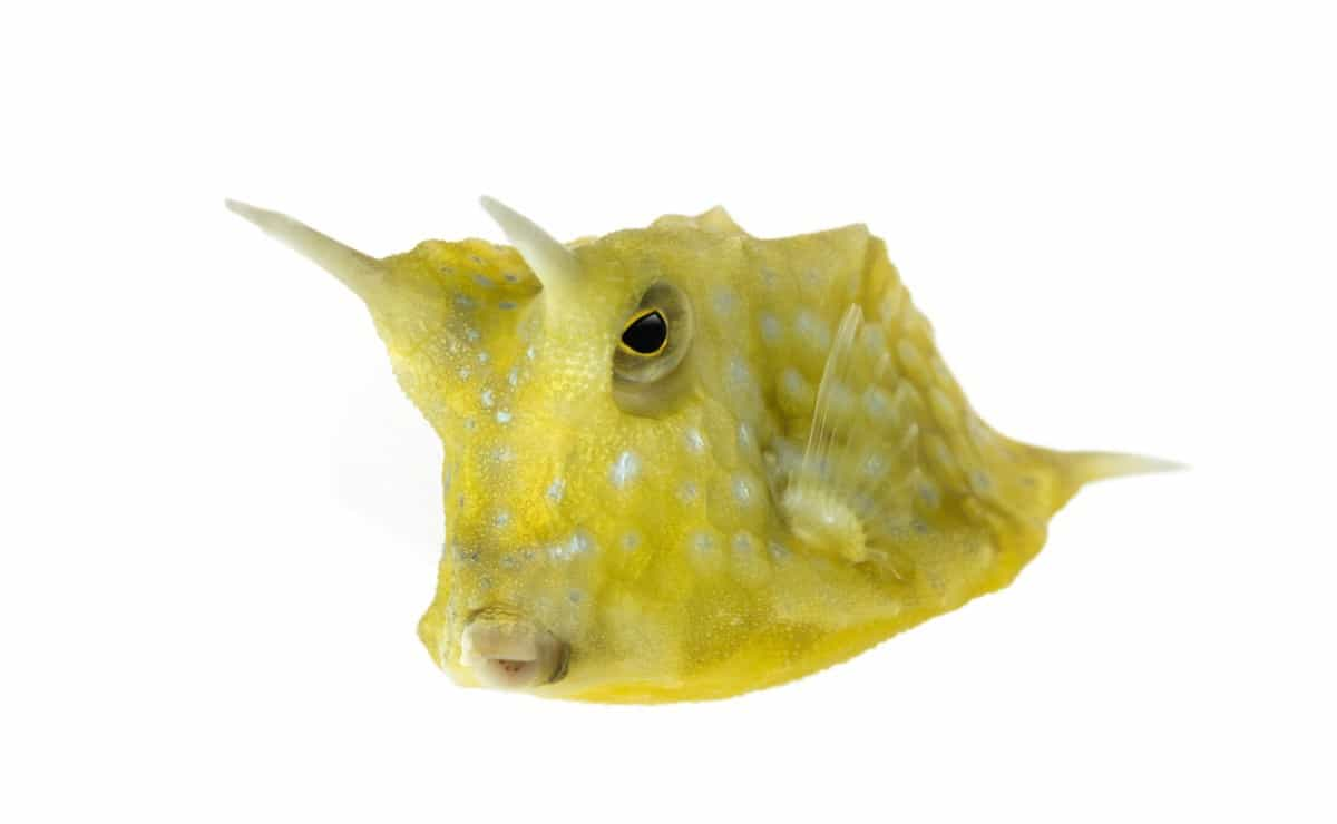 Longhorn cowfish facts