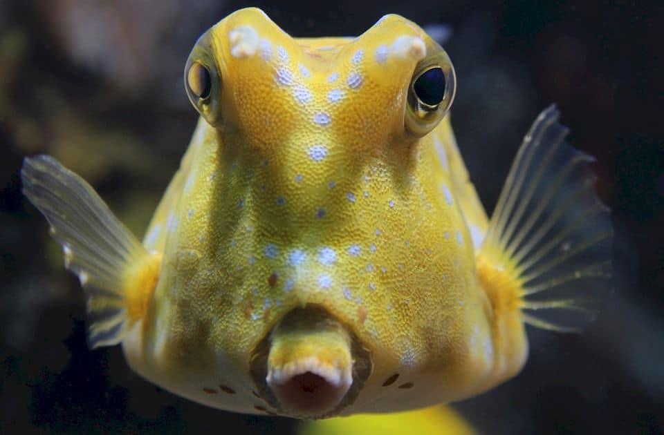 7 Little Known Facts About The Longhorn Cowfish (With Photos) 5
