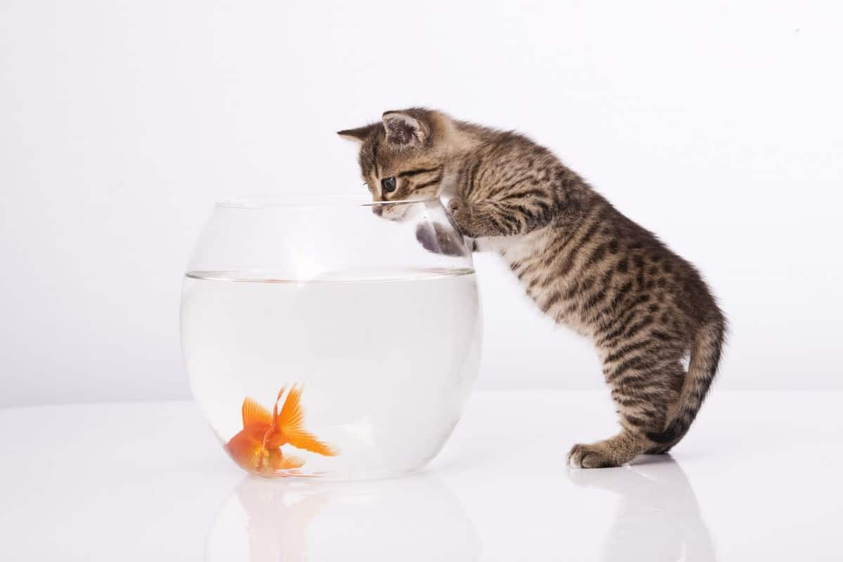 why are cats attracted to goldfish