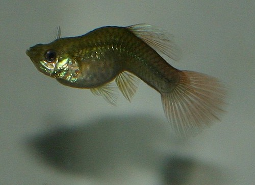 Guppy Bent Spines: Reasons   Treatments   Cures   Facts 2