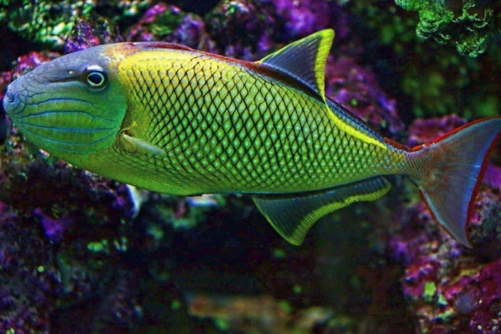 Saltwater Fish You Dream About Owning (16 Most Expensive Saltwater Fish) 1