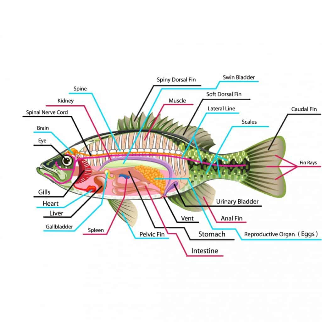 Anatomy of a Goldfish: Body Shapes | Fins | Size | Organs 1