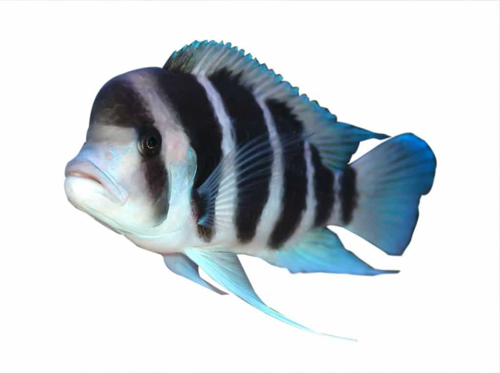 Large Male Frontosa Cichlid