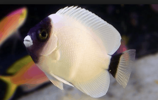 Saltwater Fish You Dream About Owning (16 Most Expensive Saltwater Fish) 8