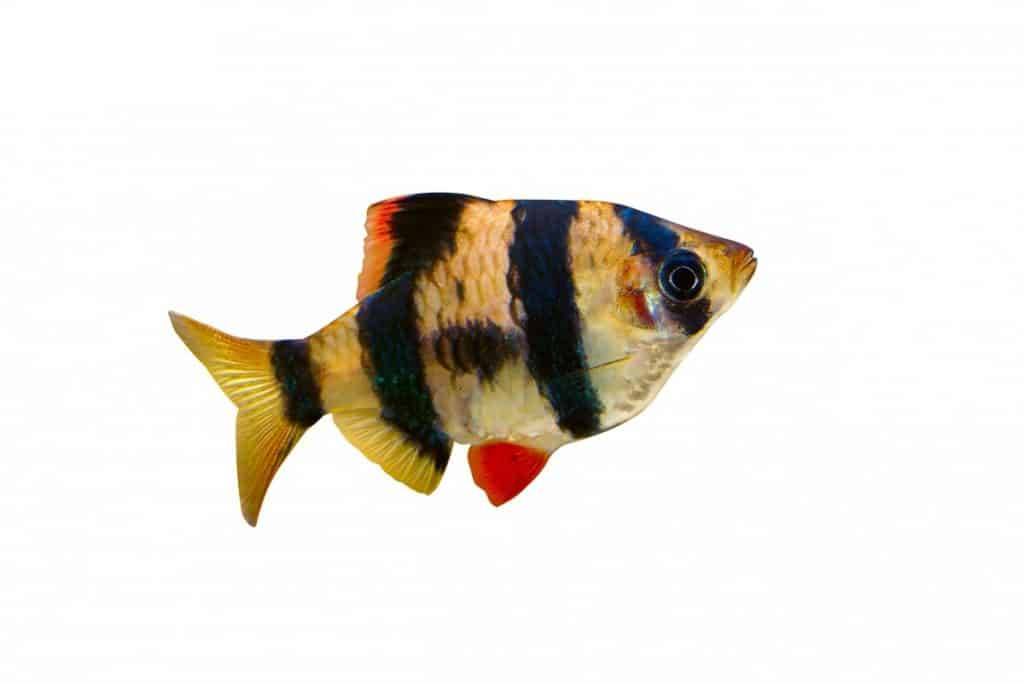 What do Tiger Barbs eat? Diet | Timings | Foods | Portion Size 2