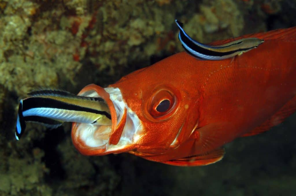 two cleaner wrasse cleaning a fish