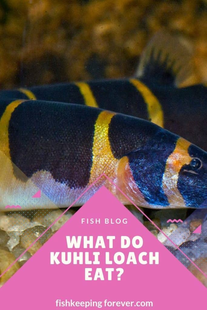 What Do Kuhli Loach Eat? Foods | Times | Amounts | Feeding 1