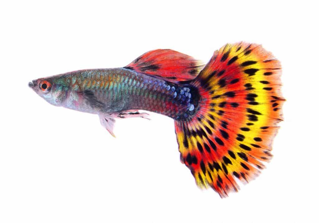 stunning guppy fish