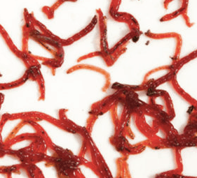 Bloodworms For Fish: Freeze Dried | Live | Frozen | Complete Guide 4