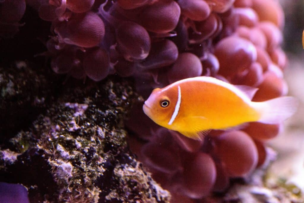 orange skunk clownfish-fishkeepingforever