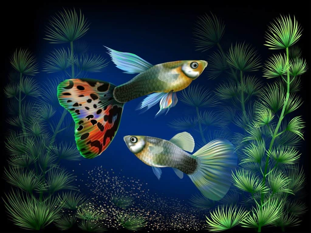 Painting of a pair of guppies- fishkeepingforever