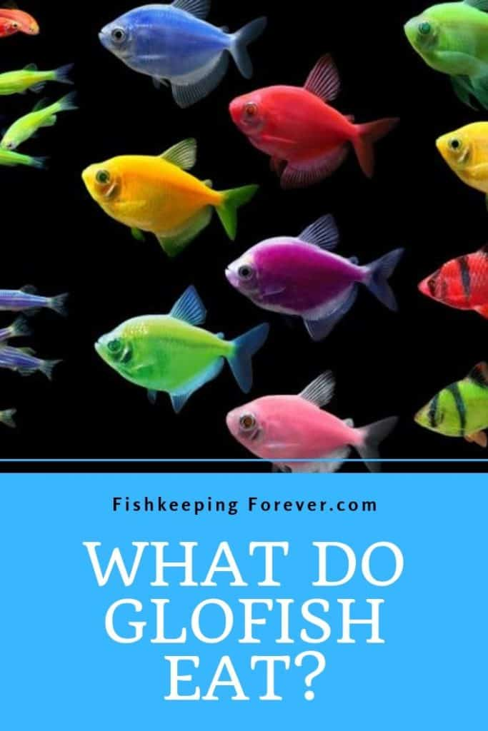 What do Glofish eat? Diet | Amounts | Foods | Feeding Guide 1