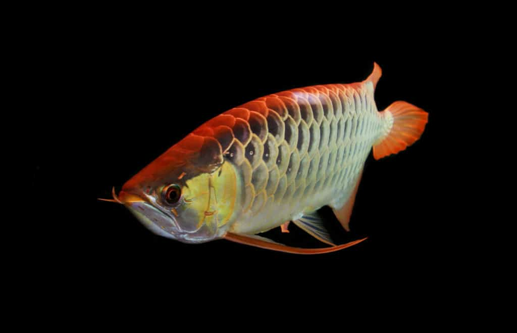 asian arowana on a black background