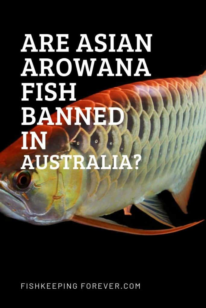 Are Arowana Banned In Australia? Which Arowanas And Why? 1