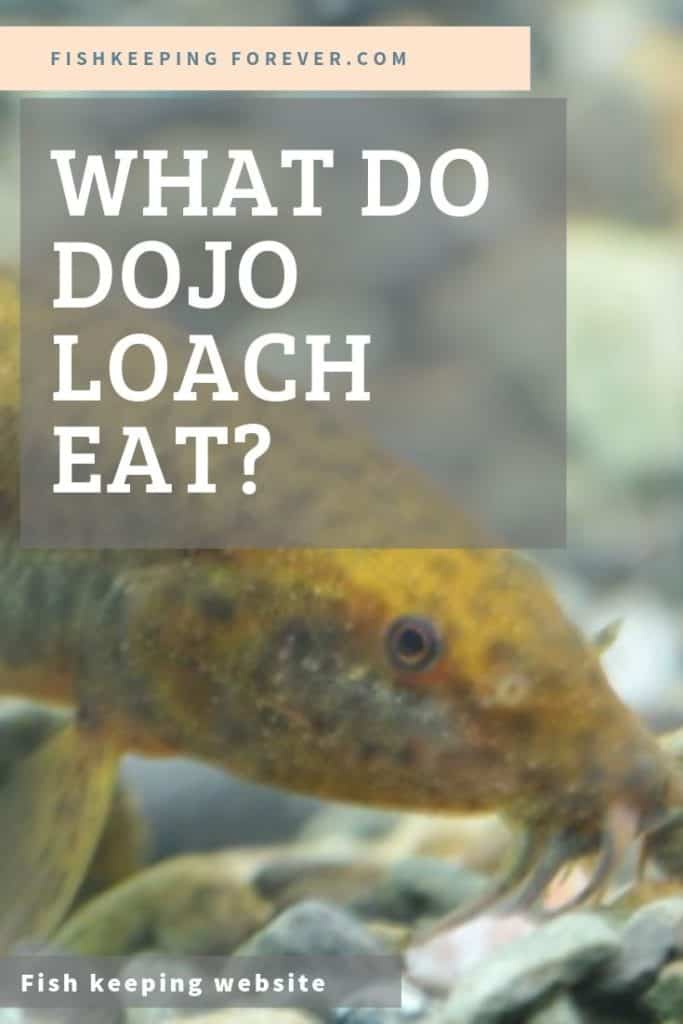 WHAT DO DOJO LOACH EAT
