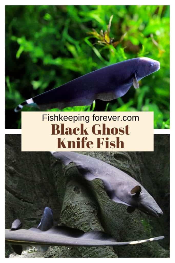 Black Ghost Knife Fish: Diet | Size | Lifespan | Care Guide 1