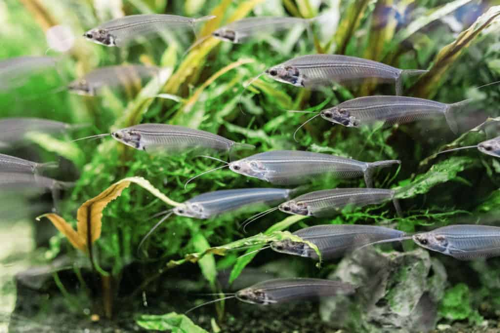 group of glass catfish