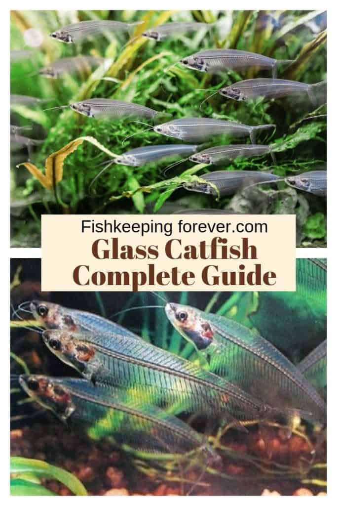Ghost Glass Catfish: Diet | Size | Lifespan | Cost | Care Guide 1