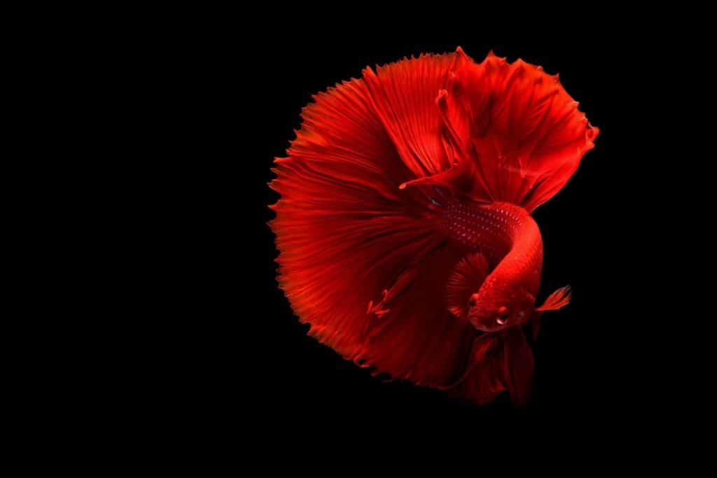 A stunning Betta fish