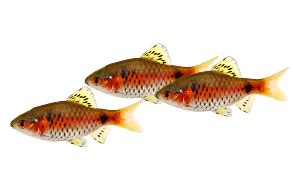 Odessa Barb: Diet | Breeding | Feeding | Cost | Lifespan | Care Guide 1