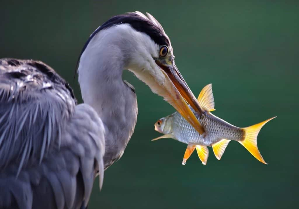heron eating a fish