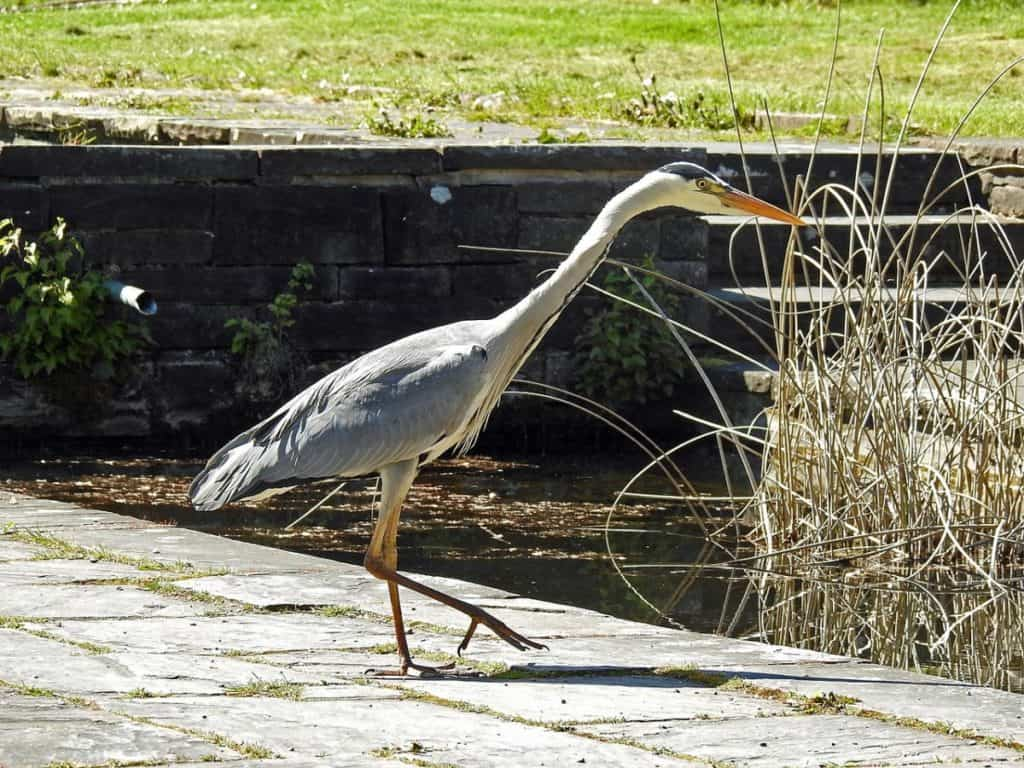 heron and garden pond