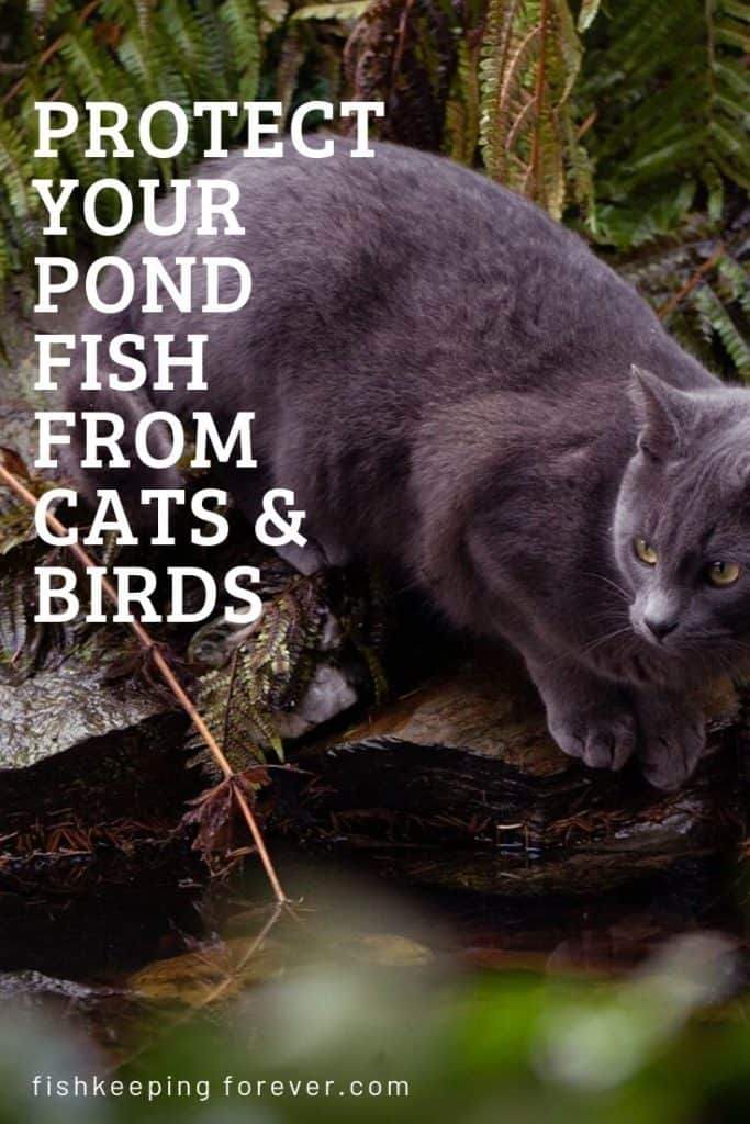 How To Protect Your Pond Fish From Cats And Birds 1