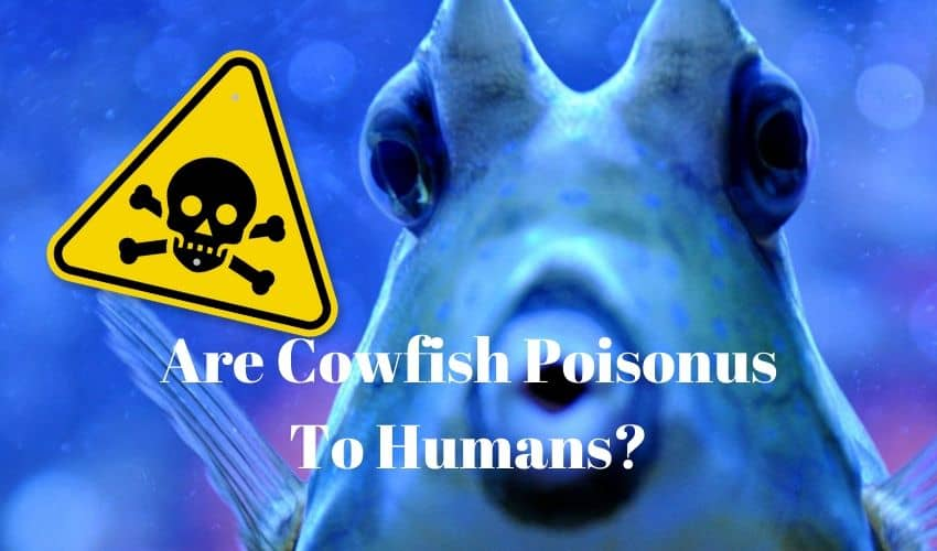 are cowfish poisonous to humans
