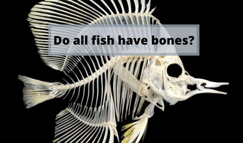 do all fish have bones