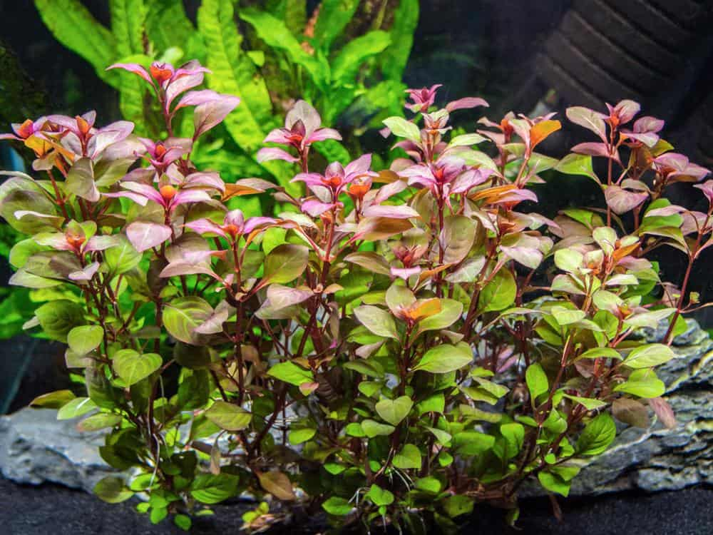 red ludwigia aquarium plants