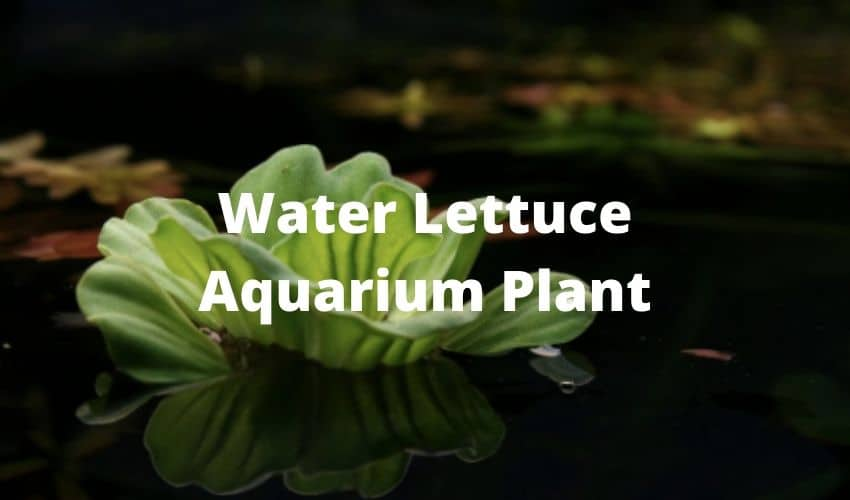 water lettuce aquarium plants