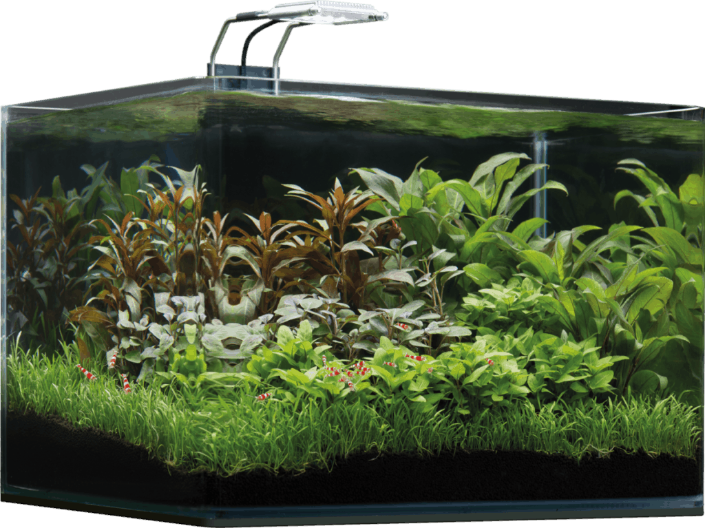 Cryptocoryne Wendtii | Species Profile And Growing Guide 2